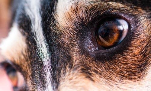 Анизокория у собак