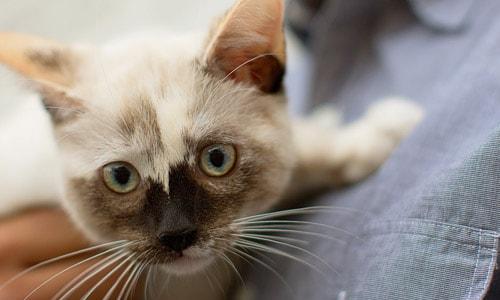 При обнаружении симптомов заболевания мочеполовой системы у котов, обращаются к ветеринару