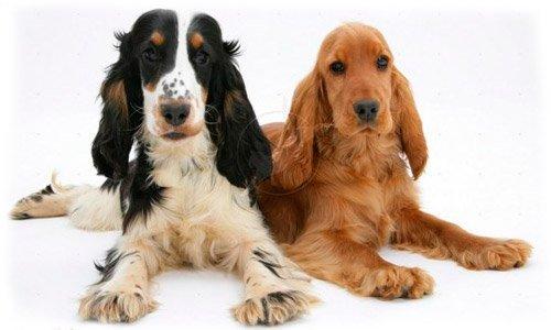 Английский кокер спаниель игривые, весёлые и нежные по природе собаки