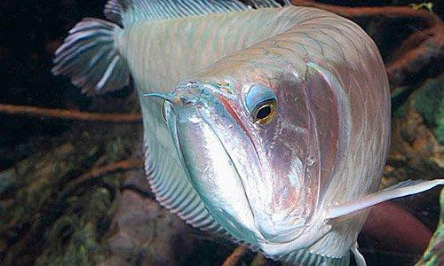 Арована рыбка  дракон платиновая серебряная фото