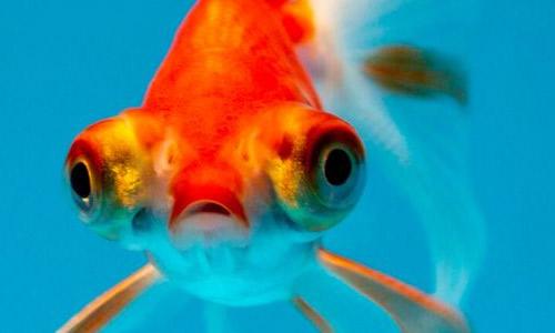 Температура воды в аквариуме для золотых рыбок